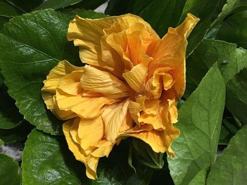 hibiscus yellow  petals yellow  yellow
