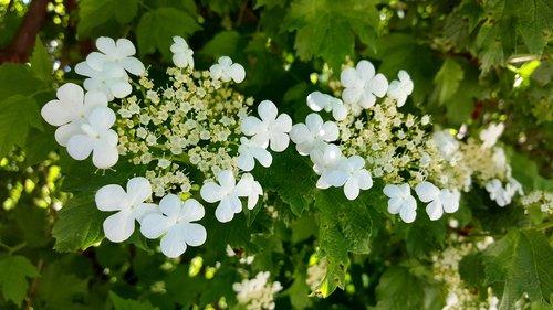 high bush cranberry  white flower  five petal