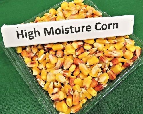 high moisture corn animal feed grain