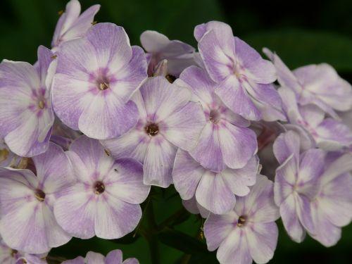 high perennial phlox phlox paniculata flame flower panicle