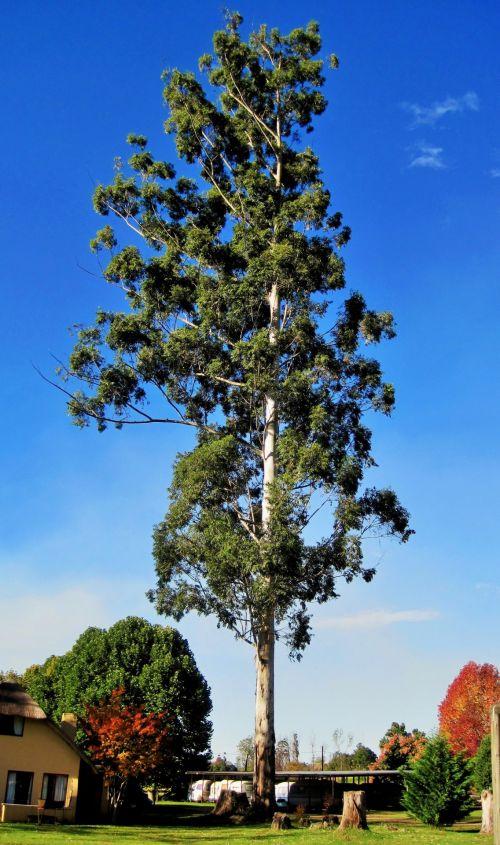 medis, aukštas, eukaliptas, didelis eukaliptas