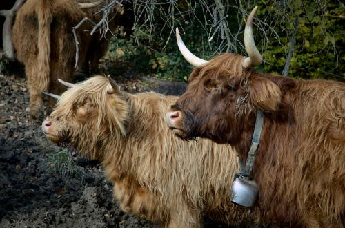 highland beef cow beef
