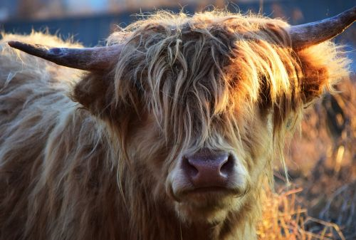 highland beef beef cow