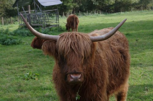 highland cattle highland cow rind