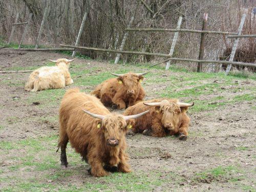 highland cattle pasture scottish highland cattle