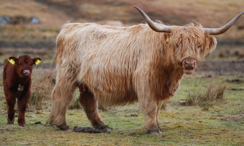 highland cow scotland highland