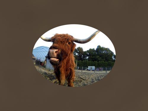 HIghland Steer Face