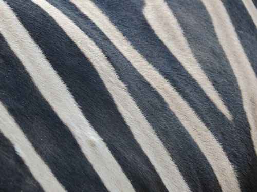 highlights zebra black and white