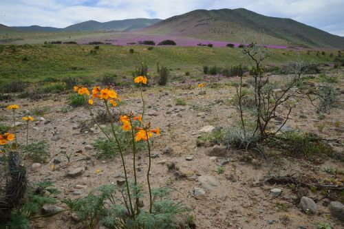 hills flowering desert flowers