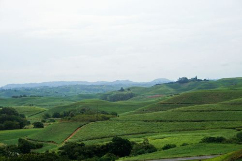 Hills Covered With Sugar Cane Kzn
