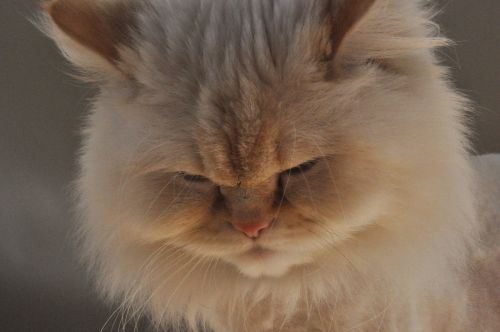 himalayan himalayan cat female cat