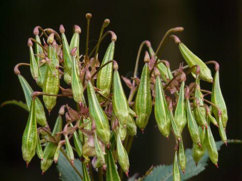 himalayan balsam seeds capsules
