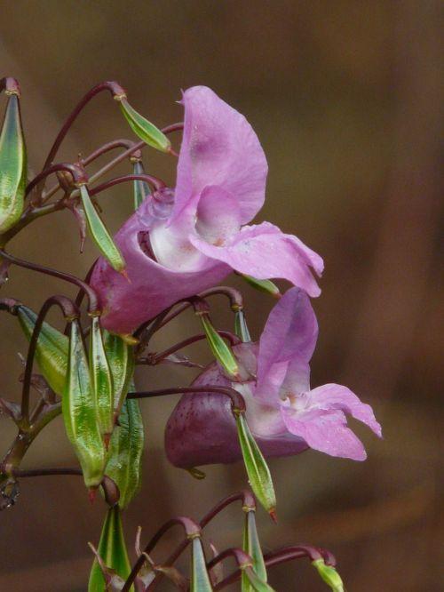 himalayan balsam blossom bloom