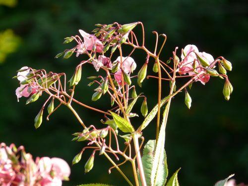 himalayan balsam plant flower