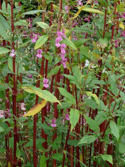 himalayan balsam stalk red