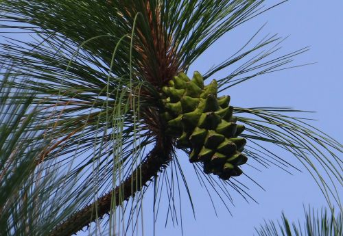 himalayan blue pine cone himalayan pine