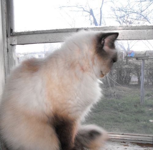 Himalayan Cat On Windowsill
