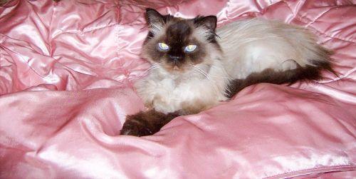 himalajiečių persų,grynos veislės,katė,kačių,mėlynos akys,gyvūnas,veislė,kompanionas,mielas,ausys,akys,kailis,pūkuotas,plaukai,mielas,naminis gyvūnėlis,portretas,kačiukas,mielas,taikus,žaismingas,kelia,Uždaryti,draugiškas