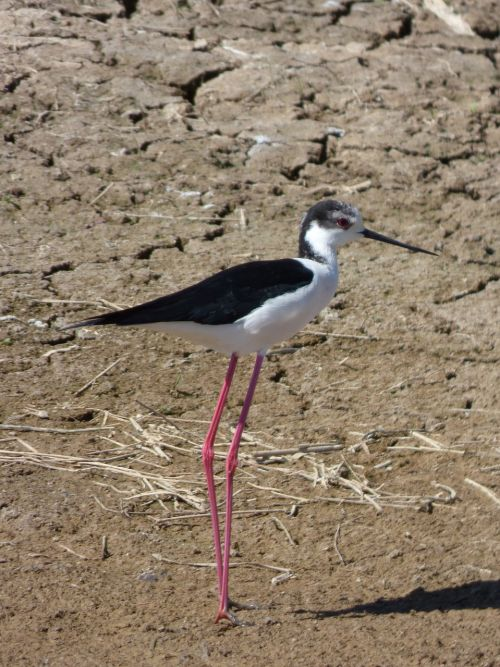 himantopus himantopus black-winged stilt common camallarga