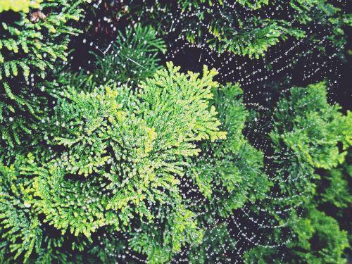 hinoki cypress cypress tree