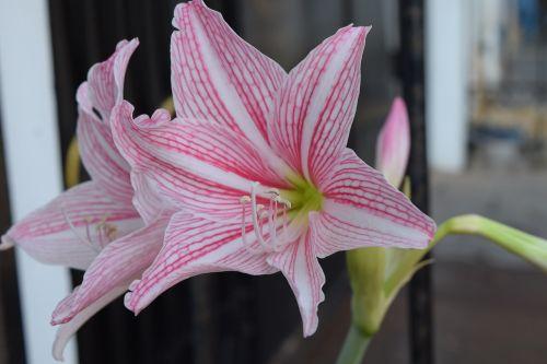 hippeastrum flower white