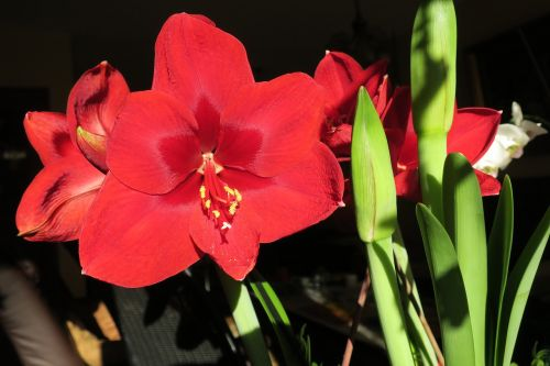 hippeastrum knights star amaryllis