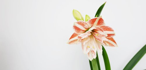 hippeastrum  flower  bloom