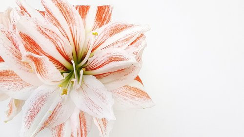 hippeastrum  flower  bloom