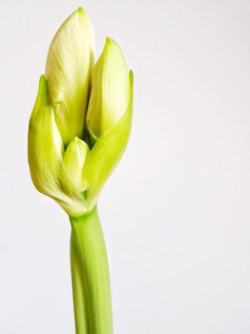 hippeastrum  bud  plant