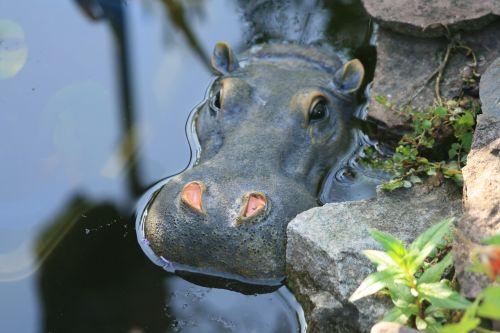 hippo pond hippopotamus