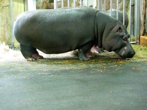hippo zoo
