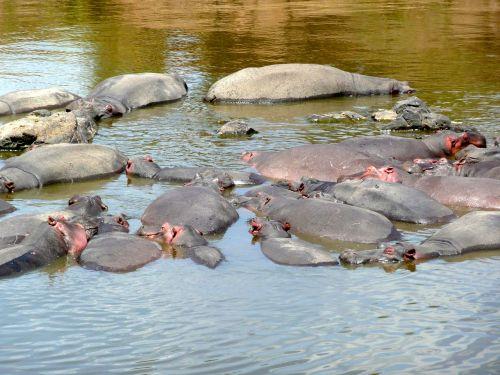 hippo hippopotamus mara
