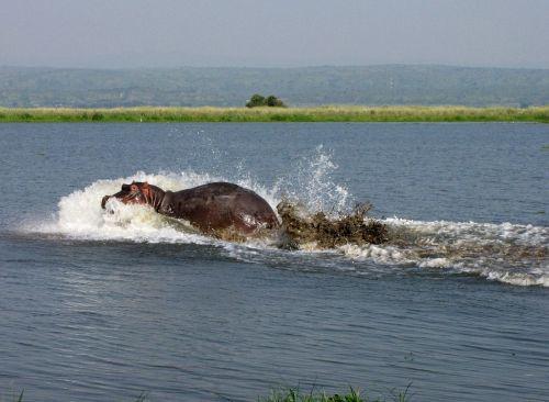hippo,Nile,uganda
