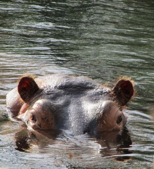 hippo hippopotamus wildlife