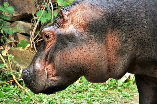 hippo  animal  fat