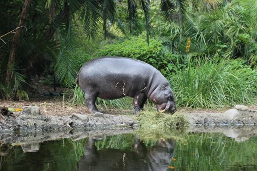 hippo zoo animal