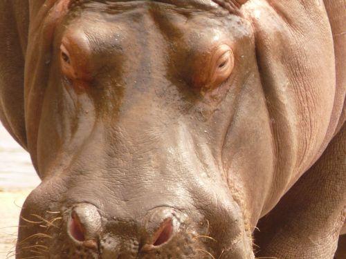 hippo animal look