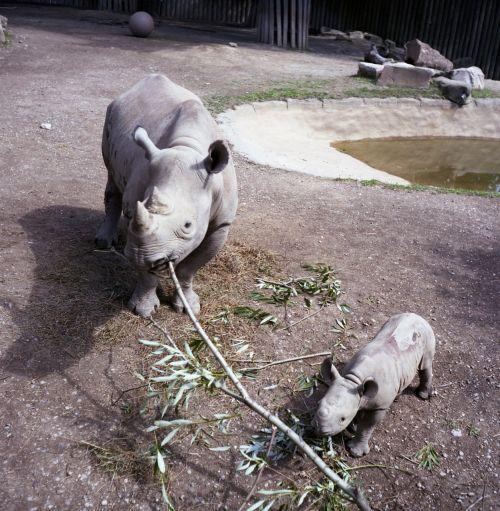 hippo zoo hippopotamus
