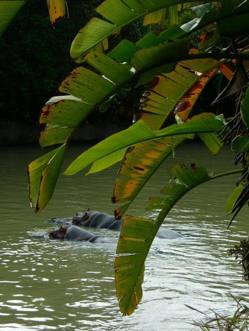 hippopotamus hippos swimming