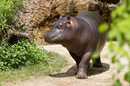 hippopotamus zoo young hippo