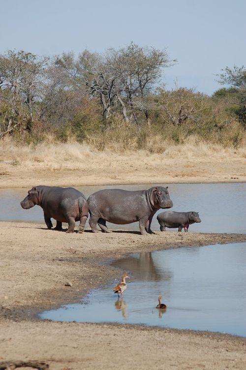 hippopotamus hippos nature
