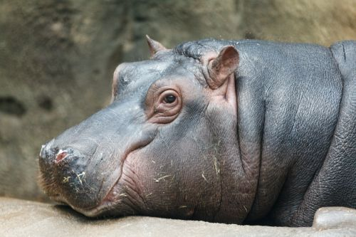 afrika, Afrikos, gyvūnas, vandens, didelis, galva, hippo, pelėnas, didelis, didelis, žinduolis, laukiniai, laukinė gamta, atsipalaiduoti, poilsio, žiūri, balandis