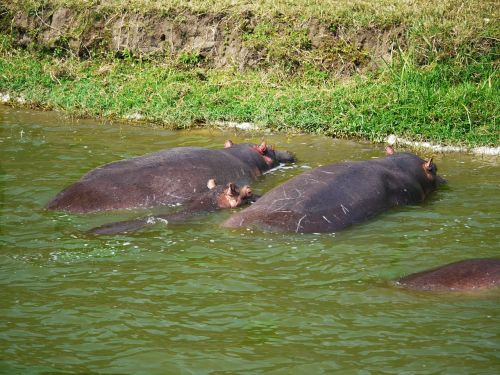 hippos watering hole animals
