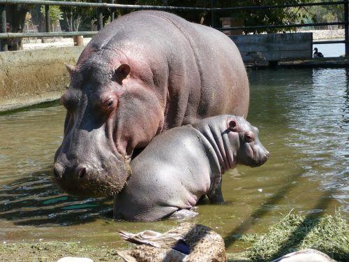 hippos fauna family
