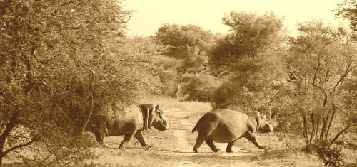 hippos africa safari