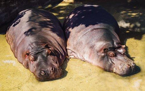 hippos  zoo  hippo