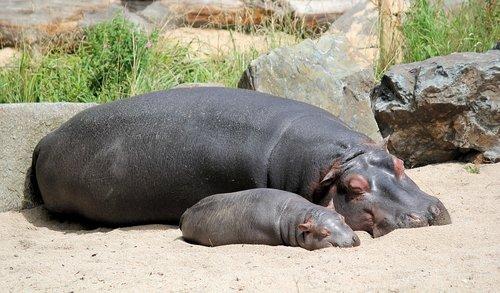 hippos  hippo  cub