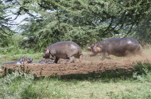 hippos tanzania plash
