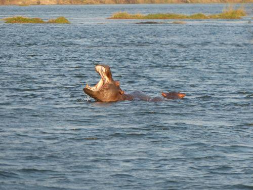 hippos zambezi river