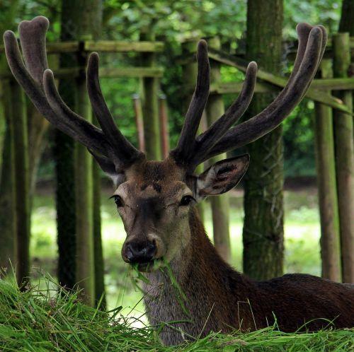 hirsch red deer wild